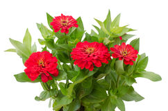 Blooming Zinnias Royalty Free Stock Images