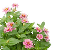 Blooming Zinnias Stock Photography
