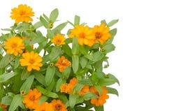 Blooming Zinnias Royalty Free Stock Photo