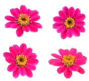 Blooming Zinnias Royalty Free Stock Image