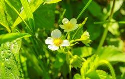 Bloomingin клубники сад стоковые изображения rf