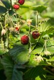 BloomingRed Fragaria Or Wild Strawberries Wild Strawberry. Growing Organic Wild Strawberry. Ripe Berry In Fruit Garden. Natural Or. Red Fragaria Or Wild Royalty Free Stock Photo