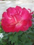Bloomming s'est levé Photographie stock libre de droits