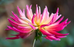 Bloomquist Dawn - Spiky Dahlia. A close up shot of a Spiky Dahlia also known as Bloomquist Dawn, a hot pink & yellow garden flower Stock Photo