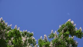 Blooms of Aesculus conker tree on blue sky background. 4K stock footage