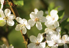 Blooms of Apple (Malus) tree close up Stock Photos