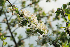 Blooms of apple tree Royalty Free Stock Photo