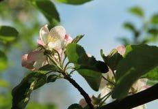 Blooms of apple tree Stock Photos