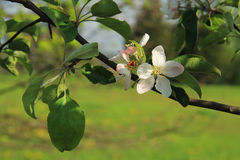 Blooms of apple tree Stock Images