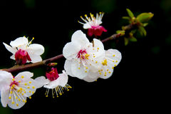 Blooms of apricot on black background. Apricot blooms on bare branch. Black background Royalty Free Stock Photo