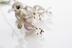 Blooms of bladder campion Stock Images