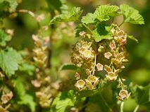 Blooms / blossoms from redcurrant on a bush Stock Image