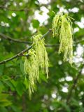 Blooms of boxelder maple Royalty Free Stock Photography