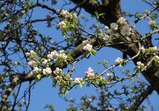Blooms and buds of apple tree Stock Photos