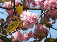 Blooms of cherry tree Stock Images
