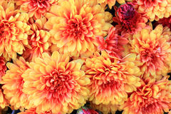 Blooms of Colorful Fall (Autumn) Mums Royalty Free Stock Images