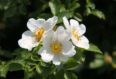 Blooms of eglantine Stock Image