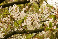 Blooms on flowering cherry tree Stock Image
