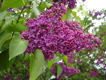 Blooms Lilac. Beautiful Lilac blossoms on the springtime in park Stock Images