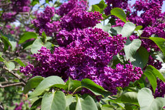 Blooms Lilac Royalty Free Stock Photos