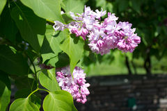 Blooms Lilac Stock Image