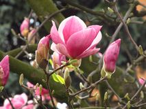 Blooms of magnolia Royalty Free Stock Photography
