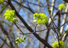 Blooms of maple tree Royalty Free Stock Images