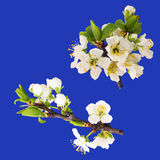 Blooms Of Plum Tree - Isolated Royalty Free Stock Photo