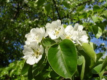 Blooms Pear. Beautiful white pear blossoms on the springtime Stock Photography