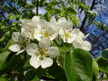 Blooms Pear. Beautiful white pear blossoms on the springtime Stock Image