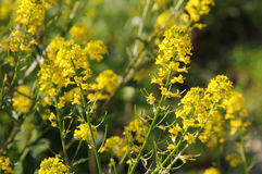 Blooms of rapeseed Royalty Free Stock Image