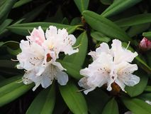 Blooms of rhododendron Royalty Free Stock Photography