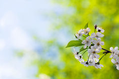 Blooms tree branch  with copyspace Royalty Free Stock Photography