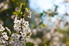 Blooms tree branch with copyspace Royalty Free Stock Images