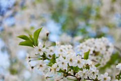 Blooms tree branch Royalty Free Stock Photo