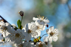 Blooms tree branch in spring Stock Images