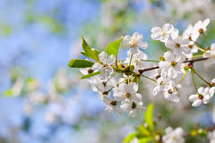 Blooms tree branch in spring Stock Photo