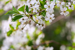 Blooms tree branch in spring Stock Photography