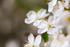 Blooms tree branch in spring Royalty Free Stock Photography