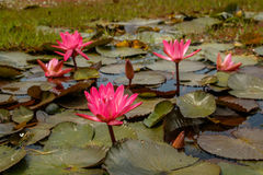 Blooms of Waterlilly plant in a small pond. Blooms of Waterlilly plant in small natural pond royalty free stock photography