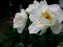 Blooms on white Oscar Peterson Hardy rose bushes. Close up of blooms on white Oscar Peterson Hardy rose bushes stock photos