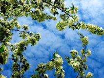 Apple blossoms. Blooms white wild apple tree in the forest Royalty Free Stock Photography