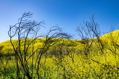 Blooms after the Wildfire. The mustard plants are in full bloom after the 2018 wildfire in Malibu royalty free stock photos