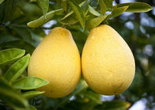 bloomsweet葡萄柚 免版税库存照片
