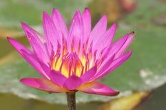 Bloomy лотос Стоковая Фотография