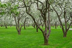 Bloomy Apple Garden Stock Photo