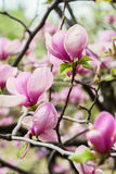 Bloomy magnolia tree with big pink flowers Royalty Free Stock Image
