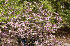 Bloomy magnolia tree with big pink flowers Stock Photography