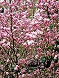 Bloomy magnolia tree with big pink flowers. Bloomy magnolia tree with pink flowers Stock Photography