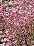 Bloomy magnolia tree with big pink flowers. Bloomy magnolia tree with pink flowers Royalty Free Stock Photo